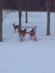 Deer in the backyard!