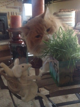 Luc eating his Christmas present - cat grass!
