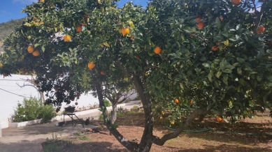 orange trees in the backyard.
