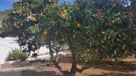 orange trees in the backyard.