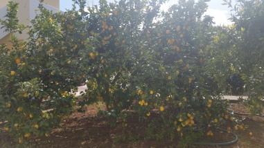 the lemon tree before its trim