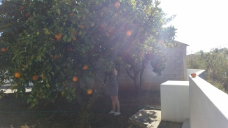 collecting oranges for juice!