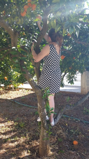 picking oranges from the tree