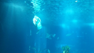 this is a sunfish. this is a small one - they become enormous. google it!