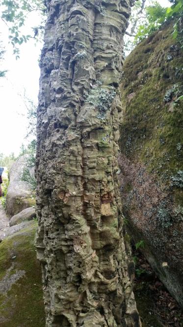 a cork tree!